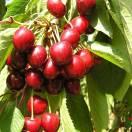 Cerisier cerassus Bigarreau Geant d'Hedelfingen