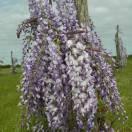 Glycine du Japon floribunda Lawrence