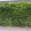 Lierre d'Irlande helix Hibernica