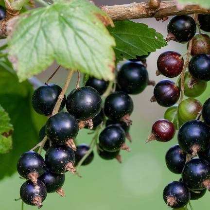 Cassis nigrum Little Black Sugar®