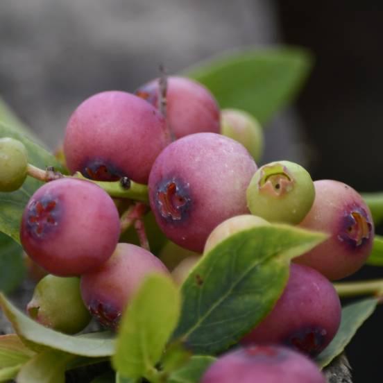 Myrtille corymbosum Pink Lemonade