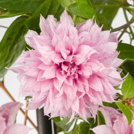 Clématite Multi Pink® 'ST17333'