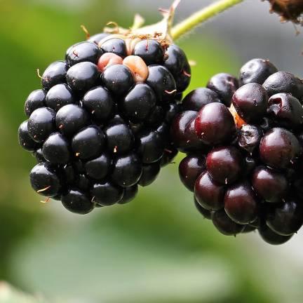 Mûre fruticosus Black Satin