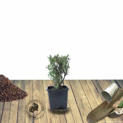 Lavande angustifolia Hidcote White