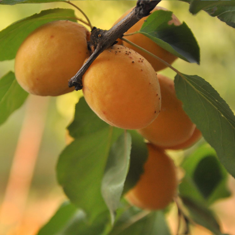 Abricot 2.jpg
