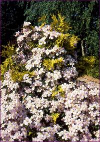 Clématite montana Mayleen dans thuya Su