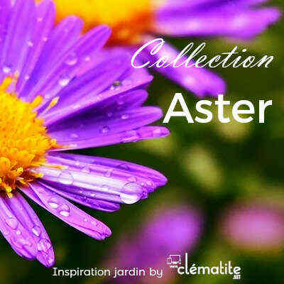 Collection Aster