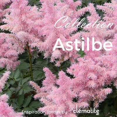 Collection Astilbe