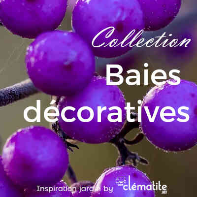 Collection Baies décorative