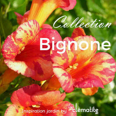 Collection Bignone