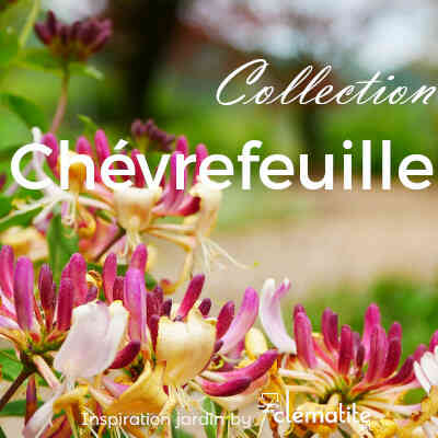 Collection Chèvrefeuille