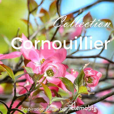 Collection Cornouillier