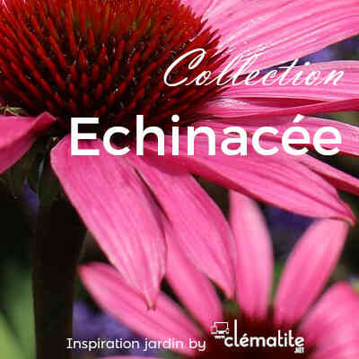 Collection Echinacée