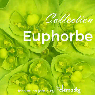 Collection Euphorbe