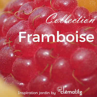 Collection Framboisiers
