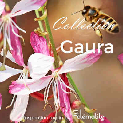 Collection Gaura
