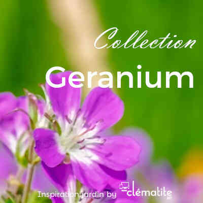 Collection Geranium