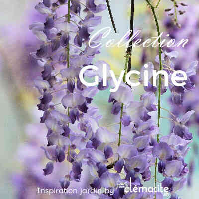 Collection Glycine