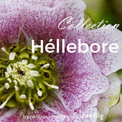 Collection Héllébore