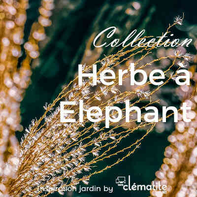 Collection Herbe à éléphant