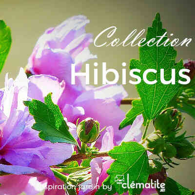 Collection Hibiscus