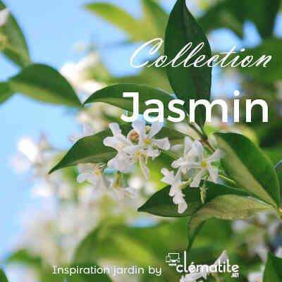 Collection Jasmin