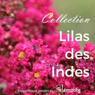 Collection Lilas des Indes