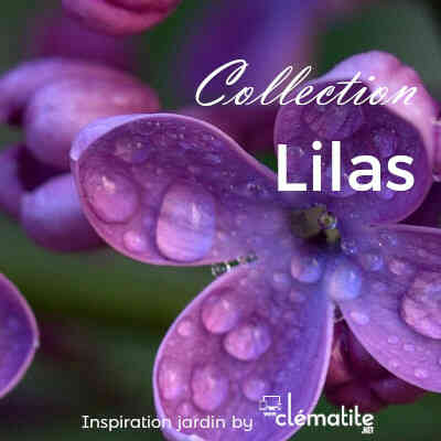Collection Lilas