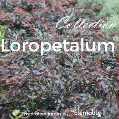 Collection Loropetalum