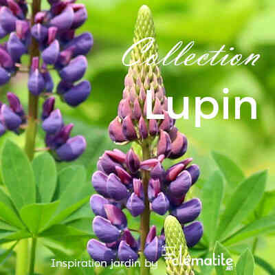 Collection Lupin