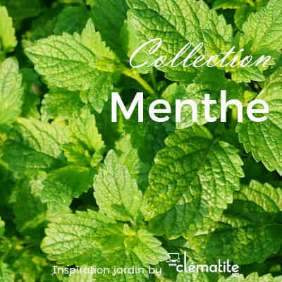 Collection Menthe
