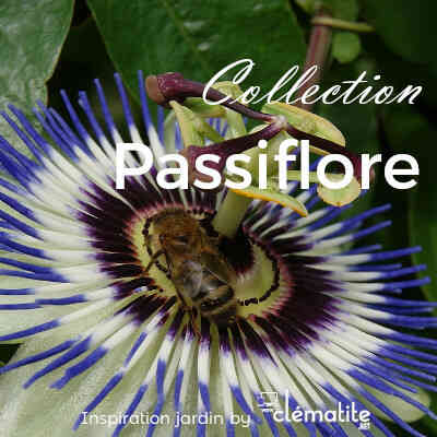 Collection Passiflore