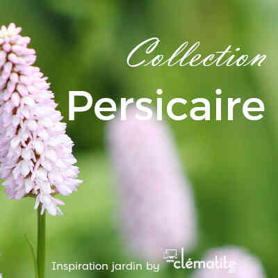 Collection Persicaire