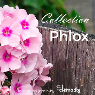 Collection Phlox