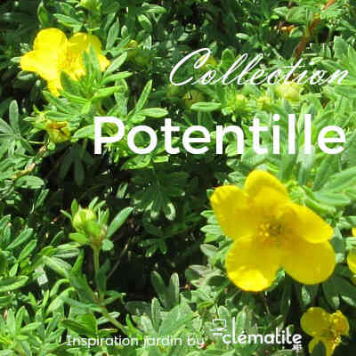 Collection Potentille