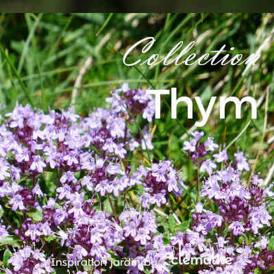 Collection Thym