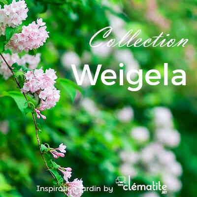 Collection Weigela