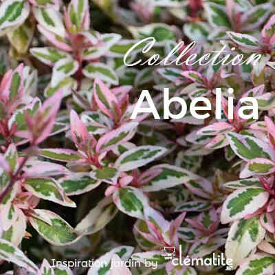 Collection Abelia