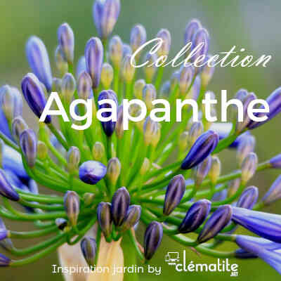 Collection Agapanthe