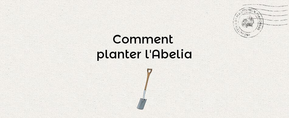 Comment planter l'abelia