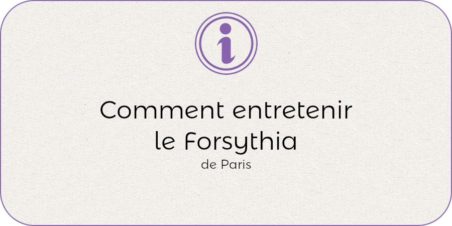 Commen entretenir le forsythia !