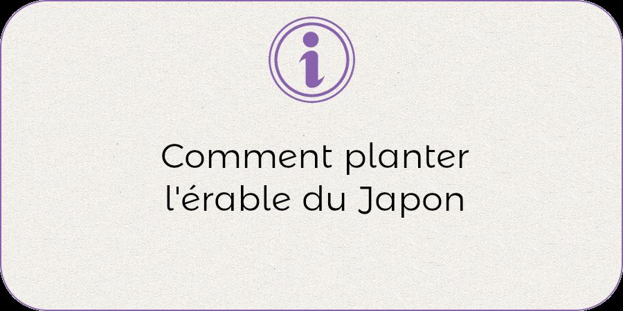 Comment planter l'érable du Japon !