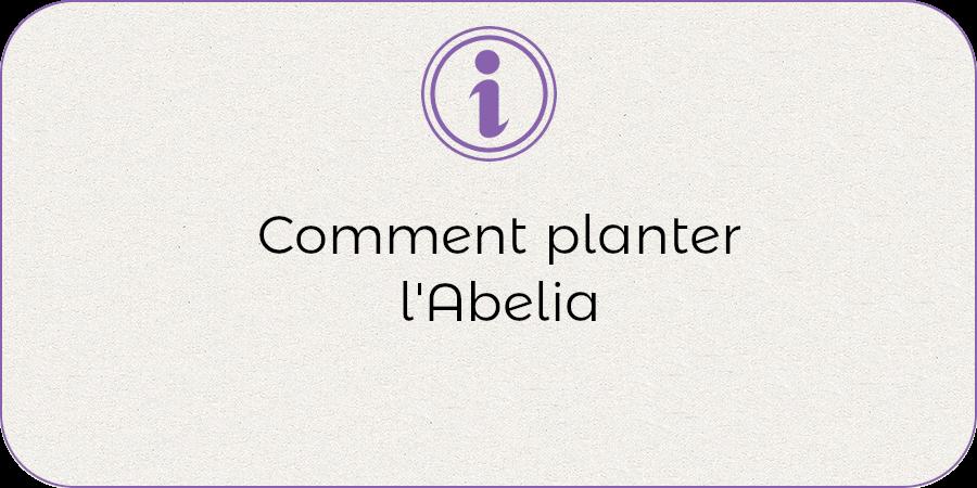 Comment planter l'abelia !