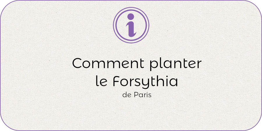 Comment planter le forsythia !