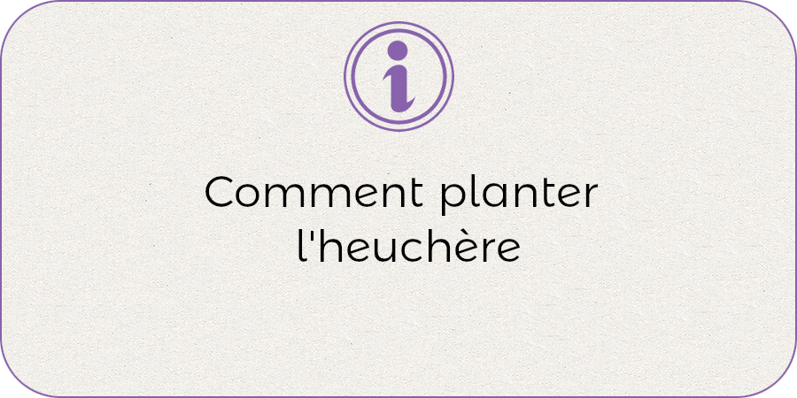 Comment planter l'heuchere