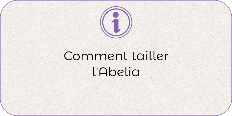 Comment entretenir l'abelia !