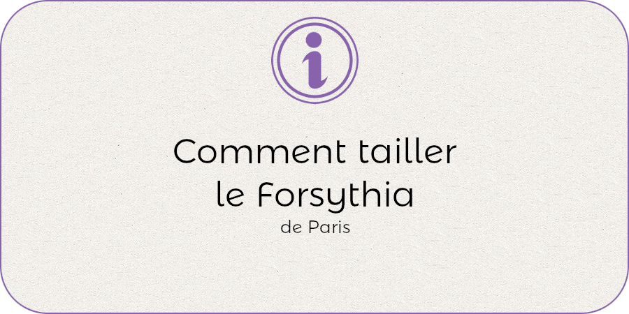 Comment tailler le forsythia !