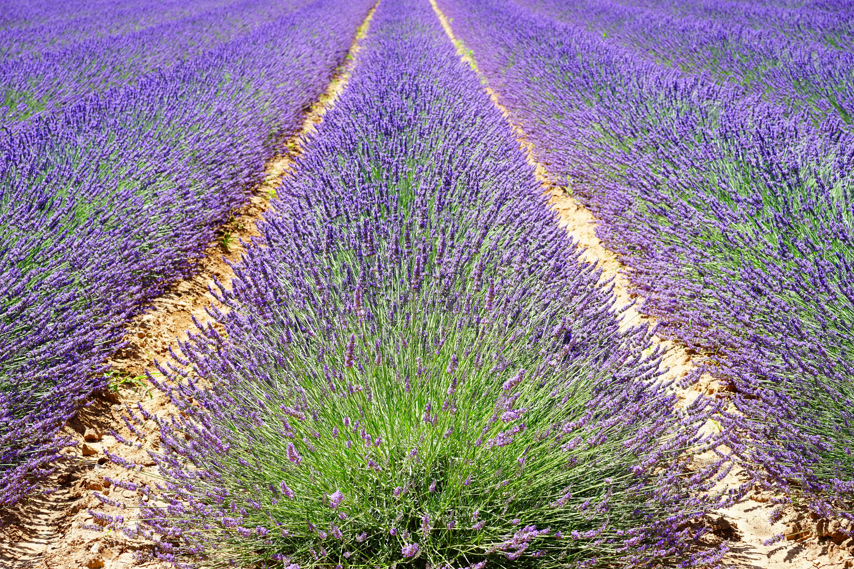 lavender-1595490.jpg