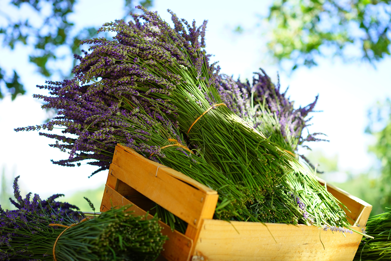 lavender-1595605.jpg