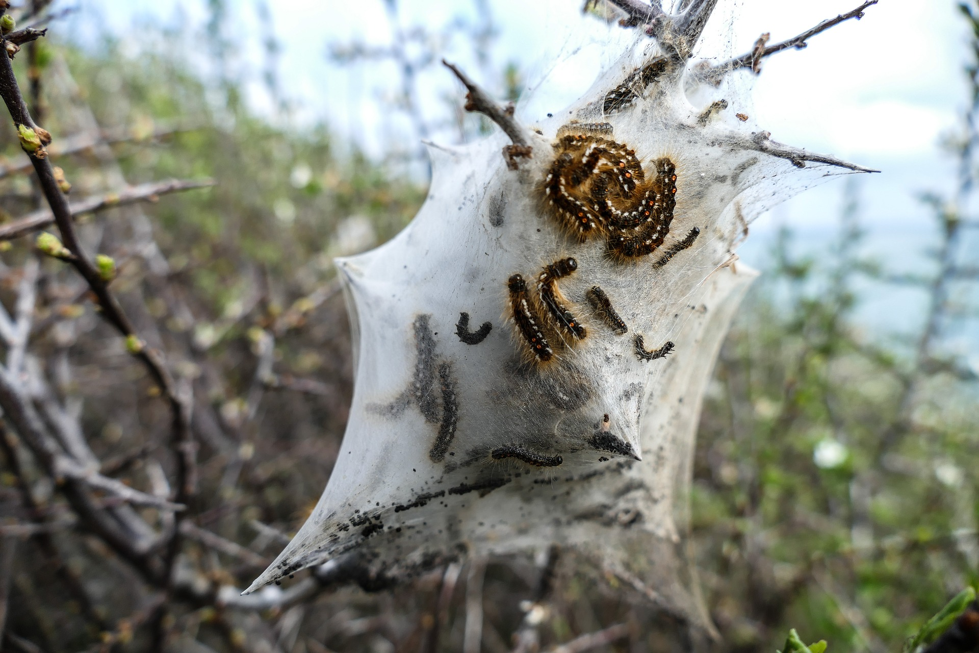 Yponomeuta malinellus